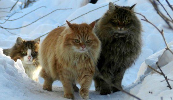 Три сибирских кота