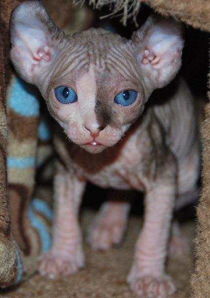 голубоглазый котёнок эльфа выходит из домика