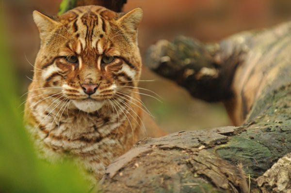 Огненный кот в дикой природе