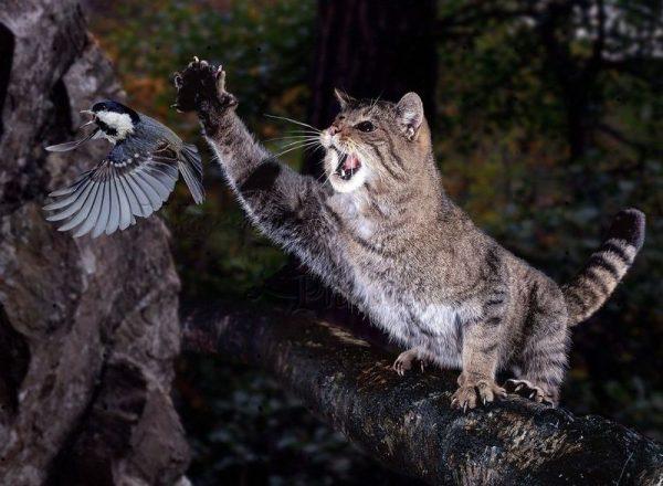 Охотящийся лесной европейский кот