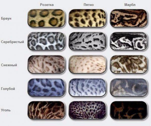 Разновидности окраса бенгальской кошки