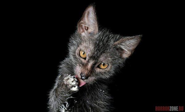 Котёнок ликоя облизывает лапу