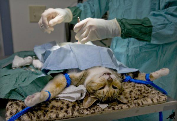Кот под скальпелем хирурга