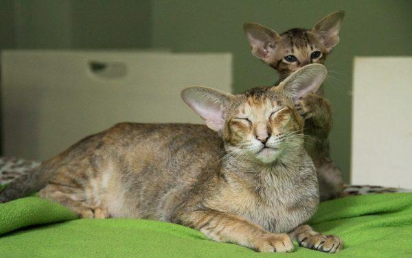 Ориентальная кошка лежит рядом с котёнком