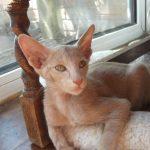 Ориентальная кошка окраса циннамон