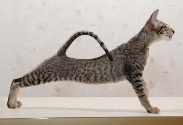 Ориентальная кошка тигрового окраса с изогнутой спинкой