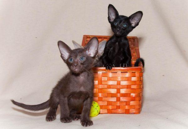 Ориентальные котята в оранжевой корзинке