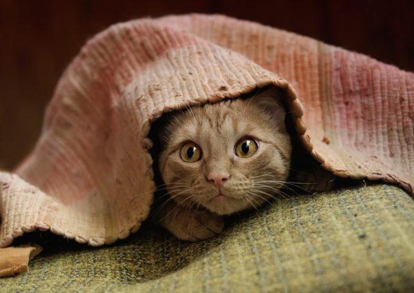 Напуганный кот прячется под покрывало