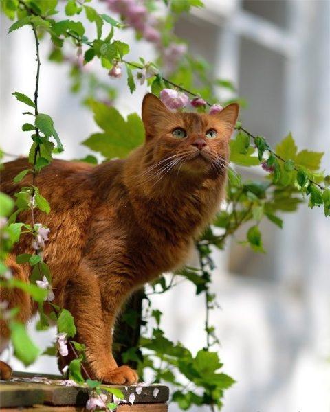 Сомалийский кот среди ветвей цветущего дерева