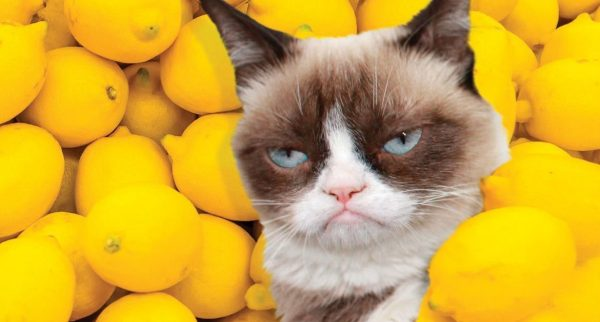 Недовольная кошка на фоне лимонов