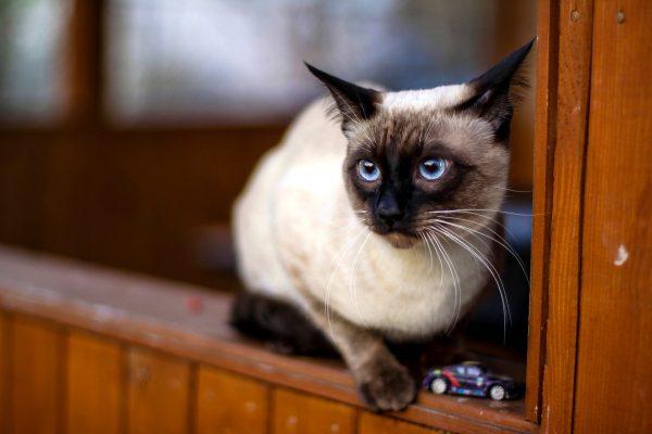 Тайская кошка на краю перил рядом с игрушечной машинкой