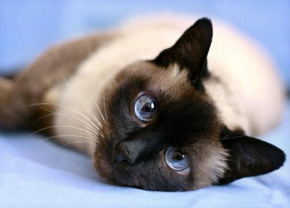 Тайская кошка с небесными глазами на голубом фоне