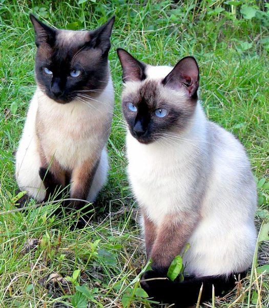 Две тайские кошки сидят на зелёной траве