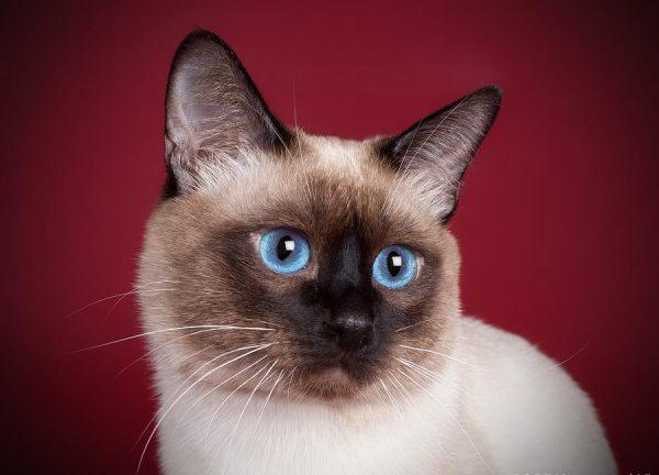 Голова тайской кошки на бордовом фоне
