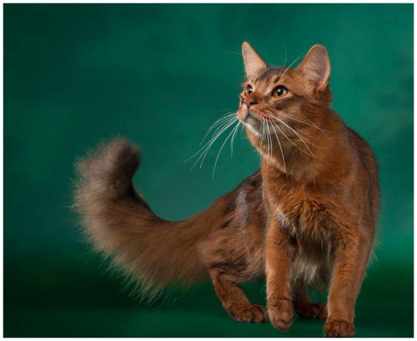 Сомалийский кот с пушистым хвостом