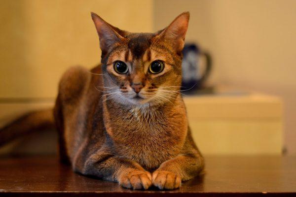 Абиссинская кошка с зелёными глазами в фас