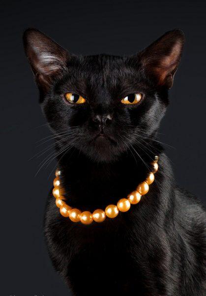 Бомбейская кошка в оранжевых бусах