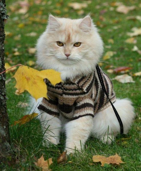 светлый пушистый кот в полосатой кофте