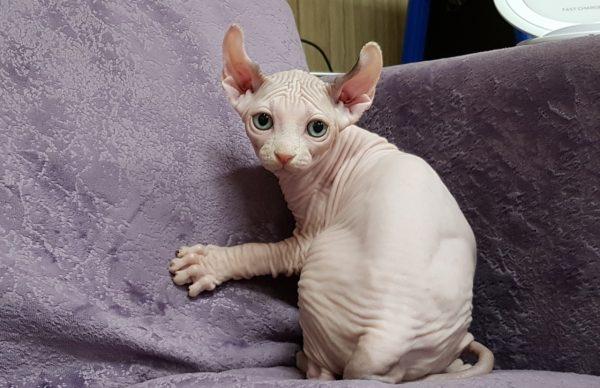 светлый эльфийский котёнок с зелёными глазами на фиолетовом диване