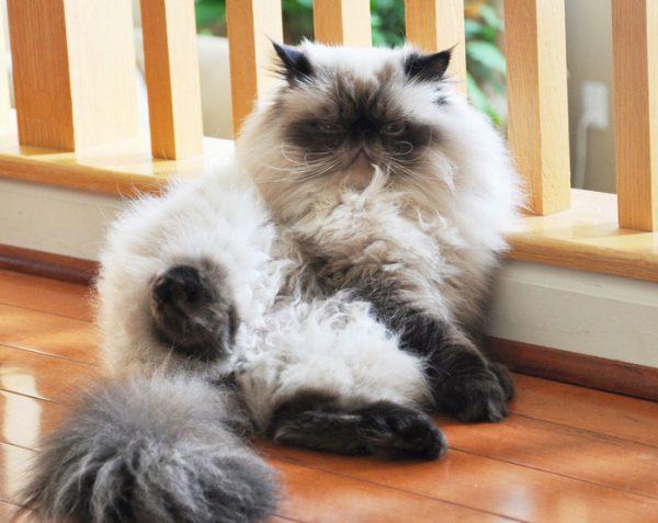 гималайский кот облокотился к перилам