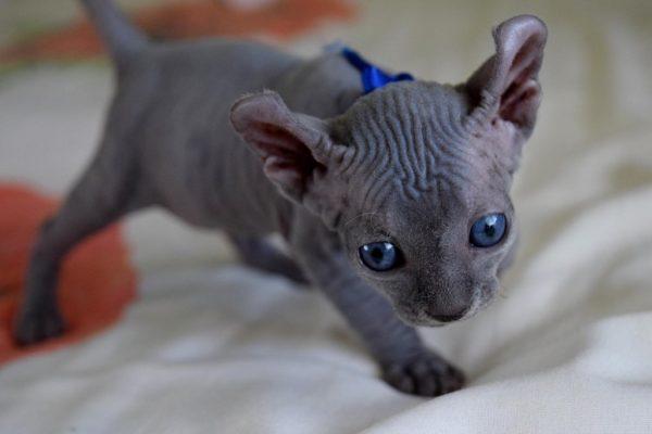 синеглазый эльфийский котёнок