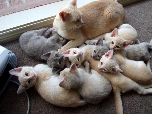 Палевая кошка с котятами