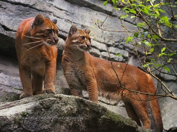 Пара азиатских золотистых кошек