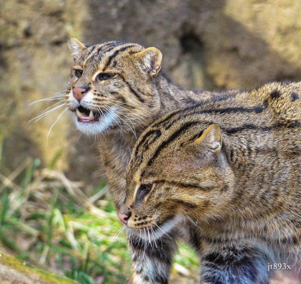 Пара котов-рыболовов