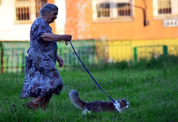 Пенсионерка выгуливает рагамаффина на шлейке