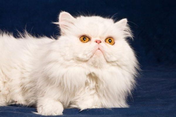 Персидская белая
