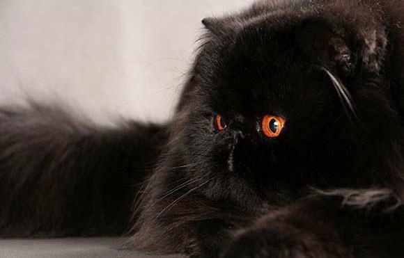 Персидская чёрная