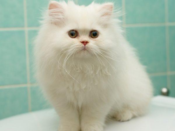 Персидский белый котёнок