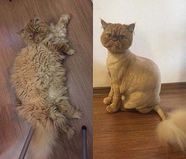 Персидский кот до и после стрижки