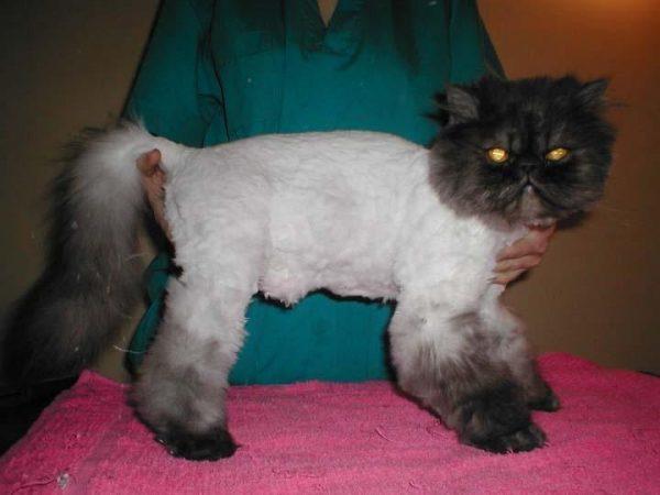 Персидский кот после гигиенической стрижки