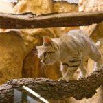 песчаный кот идёт по бревну