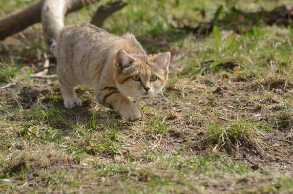 песчаный кот крадётся по траве
