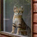 песчаный кот смотрит из окна