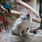 песчаный кот среди кактусов