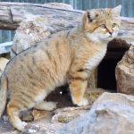 песчаный кот у норы