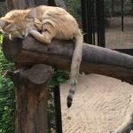 песчаный кот уснул на бревне