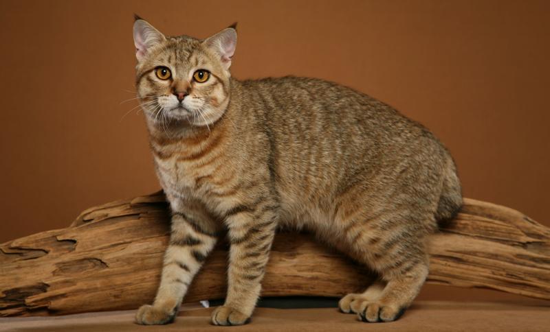 Кошки породы пиксибоб