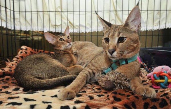 Каракет и абиссинская кошка в клетке