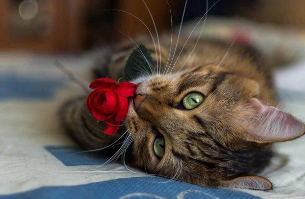 Полосатая кошка с красной розой