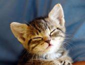 Полосатый котёнок с закрытыми глазами на синем фоне