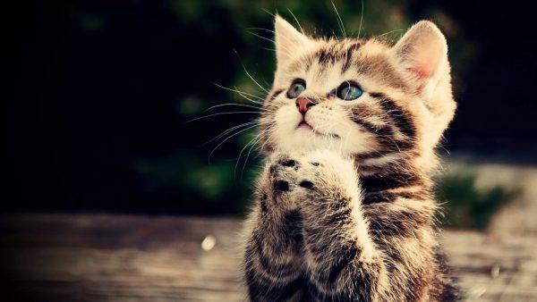 Полосатый котёнок сложил лапки