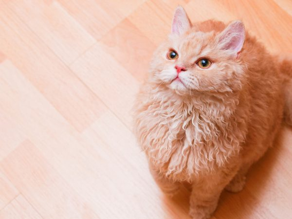 Персиковый селкирк с рыжими глазами на паркетном полу