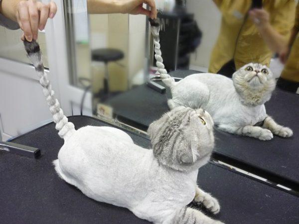 постриженный серый кот перед зеркалом