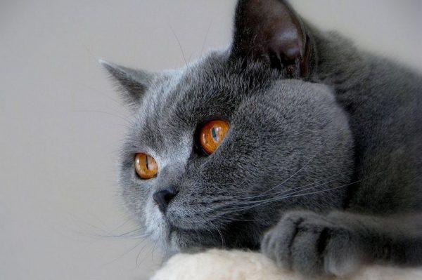 Серый кот лежит