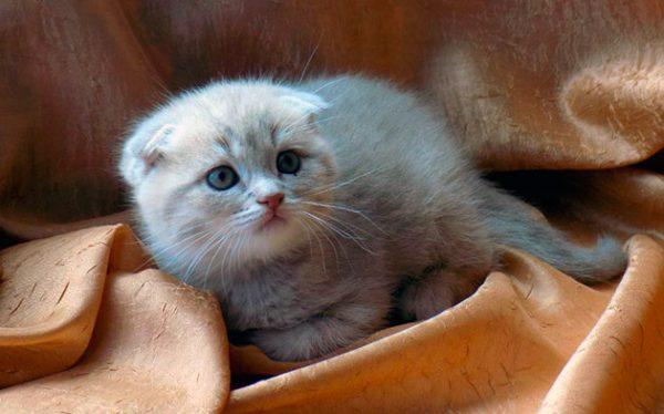 Приучаем котенка к чистке ушей