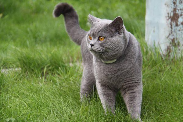 Британский кот гуляет